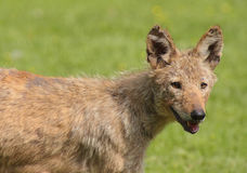 Eastern Coyote (Canis latrans) Stock Photo