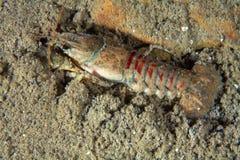 Eastern crayfish Royalty Free Stock Image