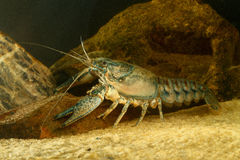 Eastern crayfish, orconectes limosus. In the pond Stock Photo