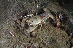 Eastern crayfish Royalty Free Stock Images
