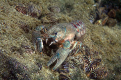 Eastern crayfish Stock Images