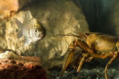 Eastern crayfish and Prussian carp fish Stock Images
