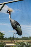 Eastern crowned crane in a Russian zoo. Royalty Free Stock Photos