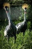 Eastern crowned crane in a Russian zoo. Stock Images