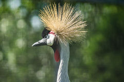 Eastern crowned crane in a Russian zoo. Stock Photo
