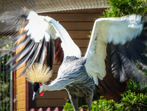 Eastern crowned crane in a Russian zoo. Royalty Free Stock Image