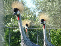 Eastern crowned crane in a Russian zoo. Stock Photography