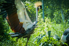 Eastern crowned crane in a Russian zoo. Stock Image