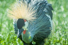 Eastern crowned crane in a Russian zoo. Stock Photos