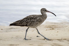 Eastern curlew Stock Photography