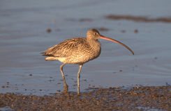 Eastern curlew, Numenius madagascariensis Stock Photography