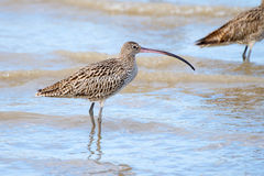 Eastern Curlew - Queensland, Australia Royalty Free Stock Images