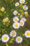 Eastern Daisy Fleabane. Generally two to three feet tall, branching with many white-rayed, yellow centered blooms. They bloom from mid to late spring and royalty free stock photography