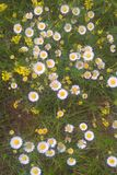 Eastern Daisy Fleabane. Generally two to three feet tall, branching with many white-rayed, yellow centered blooms. They bloom from mid to late spring and stock image