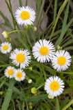 Eastern Daisy Fleabane. Generally two to three feet tall branching with many white-rayed, yellow centered blooms. It blooms from mid to late spring and royalty free stock images