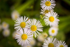 Eastern daisy fleabane. In the spring time stock image