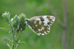 Eastern Dappled White. An Eastern Dappled White Euchloe ausonia butterfly is nesting on a leaf royalty free stock image