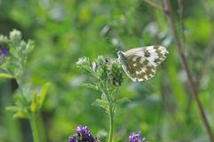 Eastern Dappled White. An Eastern Dappled White Euchloe ausonia butterfly is nesting on a leaf Royalty Free Stock Photos