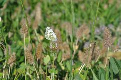 Eastern Dappled White. An Eastern Dappled White Euchloe ausonia butterfly is nesting on a leaf stock images