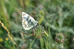 Eastern Dappled White. An Eastern Dappled White Euchloe ausonia butterfly is nesting on a leaf stock photography
