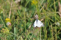 Eastern Dappled White. An Eastern Dappled White Euchloe ausonia butterfly is nesting on a leaf stock photo