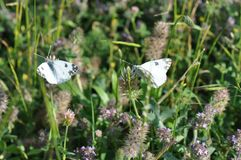 Eastern Dappled White. An Eastern Dappled White Euchloe ausonia butterfly is nesting on a leaf royalty free stock photography