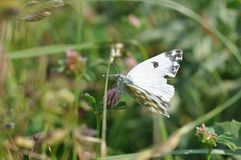 Eastern Dappled White. An Eastern Dappled White Euchloe ausonia butterfly is nesting on a leaf royalty free stock photo