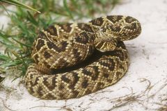 Eastern Diamondback Rattlesnake Stock Photos