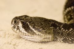 Eastern Diamondback Rattlesnake, Crotalus Adamanteus Stock Images