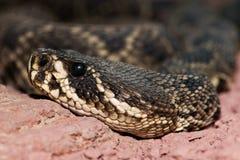 Eastern diamondback rattlesnake Crotalus adamanteus Stock Image