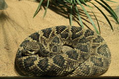 Eastern diamondback rattlesnake Royalty Free Stock Photography