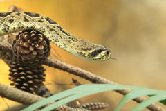 Eastern diamondback rattlesnake Stock Images
