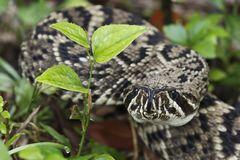 Eastern Diamondback Rattlesnake in Everglades National Park, Florida royalty free stock image
