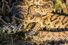 Eastern Diamondback Rattlesnake royalty free stock photo