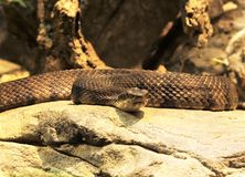 Eastern Diamondback Rattlesnake. The Eastern Diamondback Rattlesnake is the largest venomous snake in North America.  They generally live in the dry, pine Stock Photos