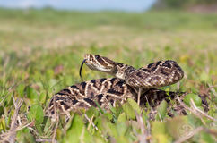 Eastern diamondback rattlesnake Stock Image