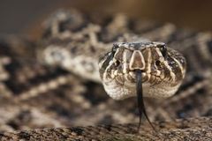Eastern Diamondback Rattlesnake Portrait Stock Image