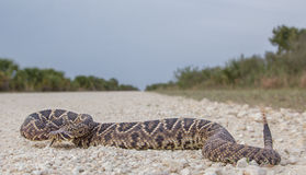 Eastern Diamondback Rattlesnake. (recently fed) crossing a dirt road in Big Cypress National Preserve, Florida Stock Photos