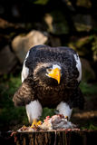 Eastern eagle Stock Images