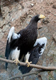Eastern eagle Haliaeetus pelagieus Stock Images