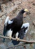 Eastern eagle Haliaeetus pelagieus Stock Images