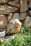 Eastern Egyptian Vulture Royalty Free Stock Image