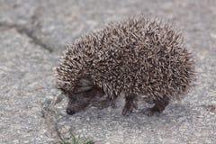 Eastern European Hedgehog. Young Eastern European Hedgehog (Erinaceus concolor Royalty Free Stock Photos
