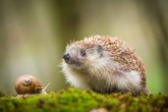 Eastern European Hedgehog Stock Images