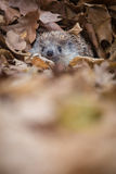 Eastern European Hedgehog Stock Photos