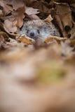 Eastern European Hedgehog Stock Photos