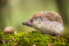 Eastern European Hedgehog Royalty Free Stock Image