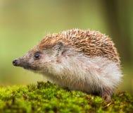 Eastern European Hedgehog Royalty Free Stock Photography