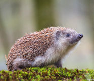 Eastern European Hedgehog Stock Photography
