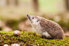 Eastern European Hedgehog Royalty Free Stock Photo